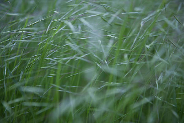 Photograph - Blurry Wheat by Maria Heyens