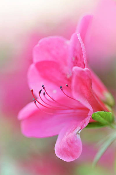 Photograph - Blushing Pink Rhody by Wes and Dotty Weber