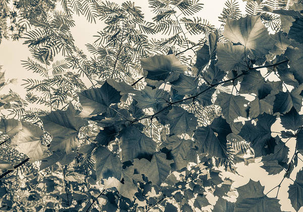 Photograph - Bnw Leaves  by Keith Smith