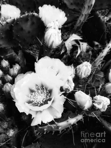Photograph - Bnw Prickly Pear Cactus In Full Bloom by Rachel Hannah