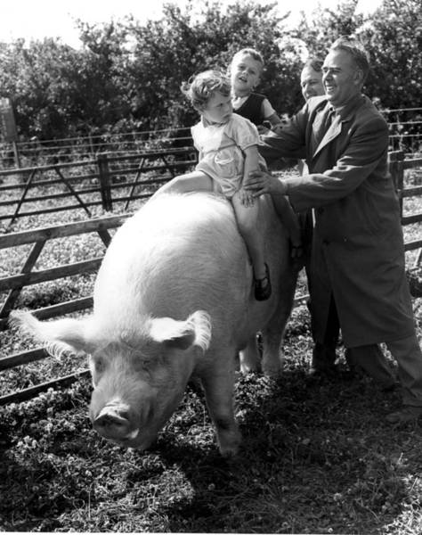 Pig Photograph - Boar Ride by Fred Morley