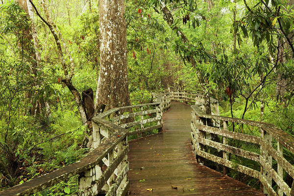Wall Art - Photograph - Boardwalk Through Swamp And Bald by Adam Jones