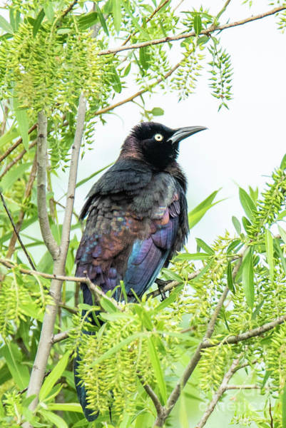 Photograph - Boat-tailed Grackle by Michael D Miller