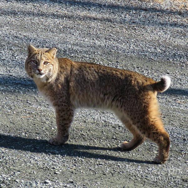 Photograph - Bobcat 1 by Amy E Fraser