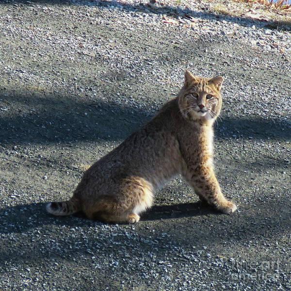 Photograph - Bobcat 2 by Amy E Fraser