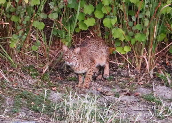 Photograph - Bobcat by Carol Groenen