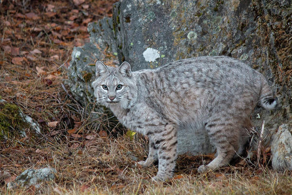 Photograph - Bobcat In The Fall 2076 by Teresa Wilson