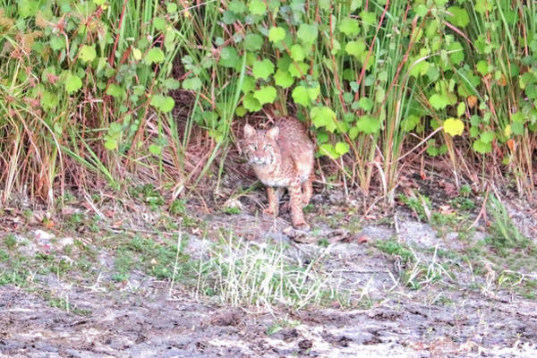 Photograph - Bobcat In The Wild by Carol Groenen