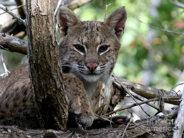 Photograph - Bobcat  by Meg Rousher