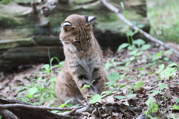Wall Art - Photograph - Bobcat Playing by Dwight Cook