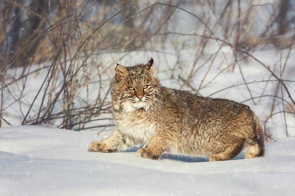 Photograph - Bobcat by Tracy Munson