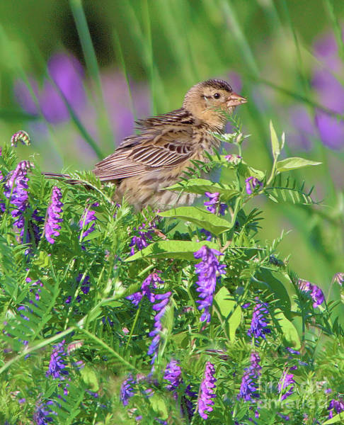 Photograph - Bobolink by Debbie Stahre