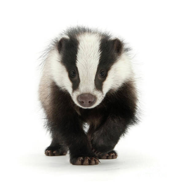 Photograph - Bodger The Badger by Warren Photographic