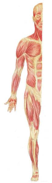 Painting - Body Muscles Anatomy Study Anterior View by Irina Sztukowski