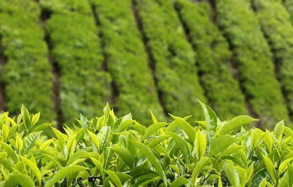 West Highlands Photograph - Boh Tea Plantation by Daniel Trim Photography