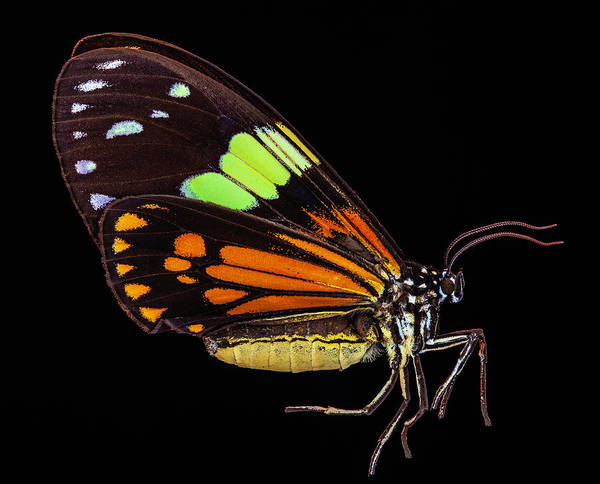 Photograph - Boisduval's Tiger Moth by Gary Shepard