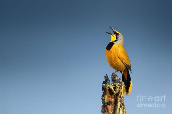 Wide Wall Art - Photograph - Bokmakierie Bird Calling - Telophorus by Johan Swanepoel