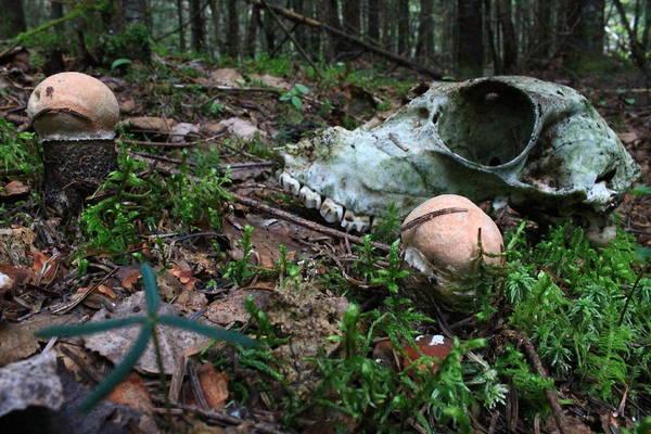 Deer Skull Digital Art - Boletus Mushroom And Deer Skull by Jonathan Belair