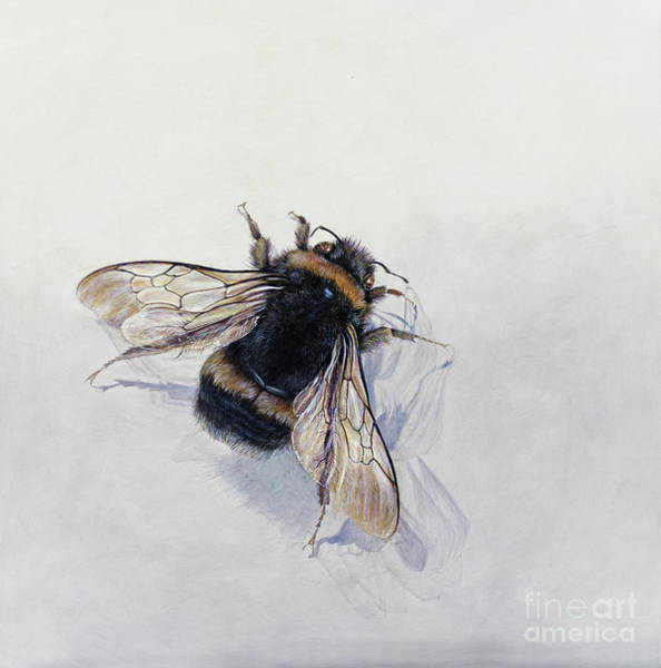 Wall Art - Painting - Bombus Terrestris 11 by Odile Kidd