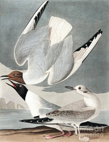 Wall Art - Painting - Bonapartian Gull, Larus Bonapartii By Audubon by John James Audubon