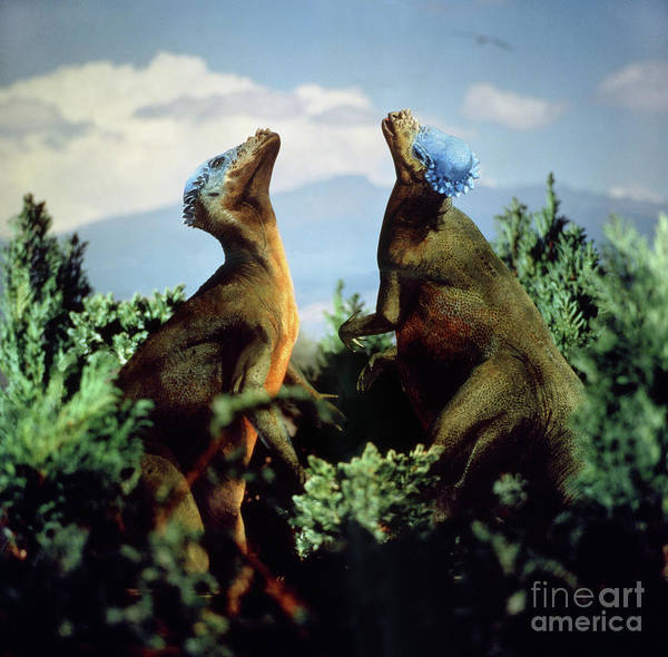 Photograph - Bone Headed Dinosaurs by Warren Photographic