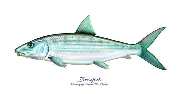 Bone Painting - Bonefish by Charles Harden