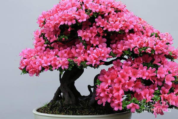 Photograph - Bonsai Azalea Bright Pink by Rachel Cohen