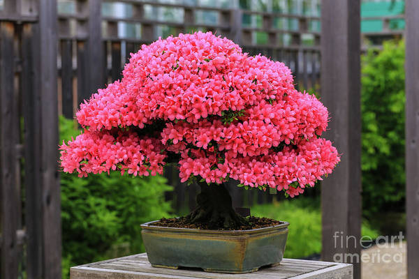 Photograph - Bonsai Pink Azalea View by Rachel Cohen