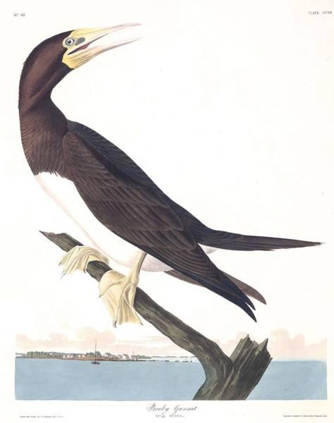 Up North Painting - Booby Gannet By John Audubon by John Audubon