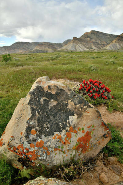 Photograph - Book Cliffs Boulder And Cacti Bloom by Ray Mathis