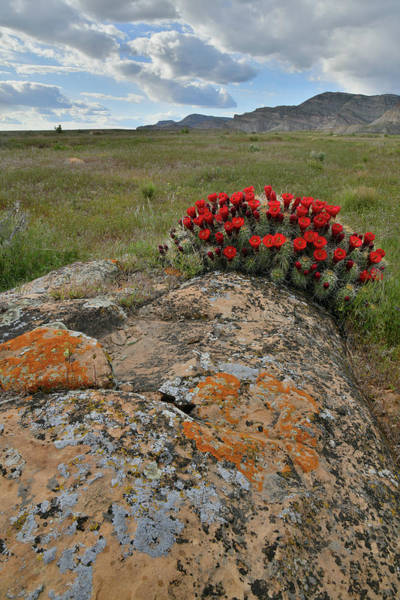 Photograph - Book Cliffs Cacti Blooming by Ray Mathis