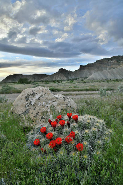 Photograph - Book Cliffs Clarion Cactus by Ray Mathis