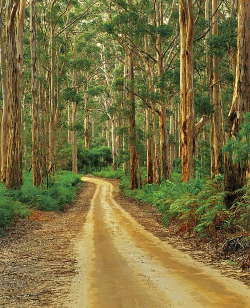Photograph - Boranup Drive Through Karri Forest by Australian Scenics