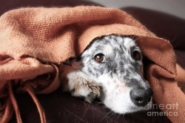 Alert Wall Art - Photograph - Border Collie  Australian Shepherd Dog by Lindsay Helms
