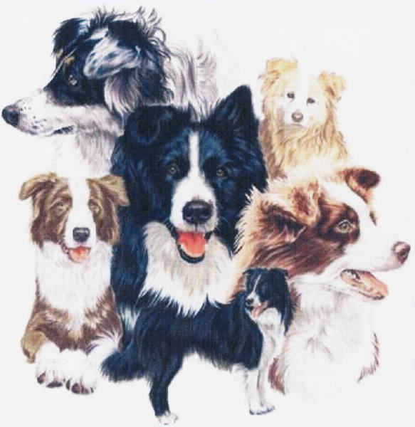 Drawing - Border Collie Grouping by Barbara Keith