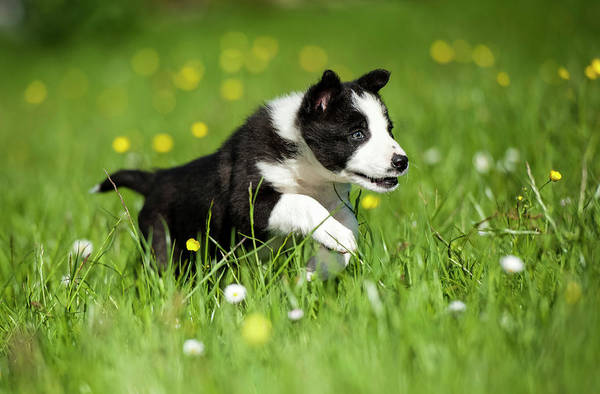 Wall Art - Photograph - Border Collie Puppy Running In A Meadow by Uig