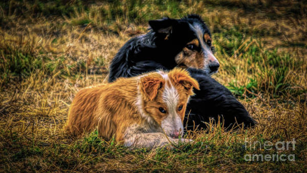 Photograph - Border Collie Pups by Janice Pariza