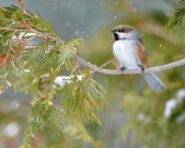Photograph - Boreal Chickadee In Winter by Judi Dressler
