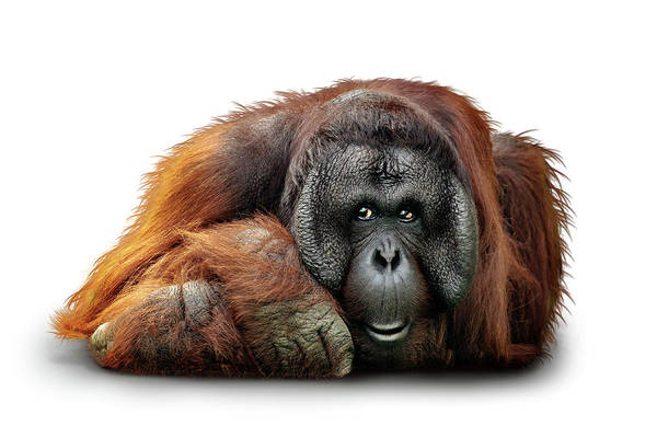 Wall Art - Photograph - Bornean Orangutan Named Michael by Susan Schmitz