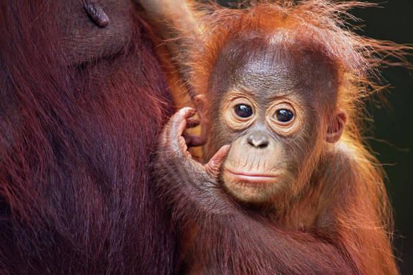 Orangutan Photograph - Bornean Orangutan Male Baby Portrait by Anup Shah