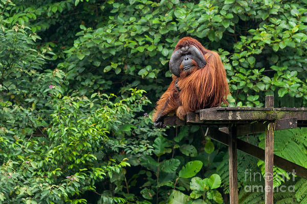 Intelligence Wall Art - Photograph - Borneo, Malaysia - September 6, 2014 by Nomads.team