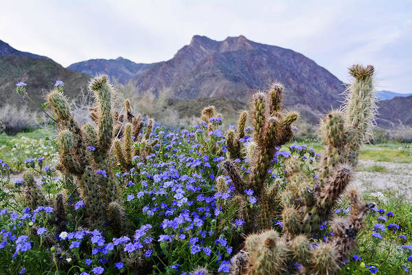 Photograph - Borrego Springs Blooms by Kyle Hanson