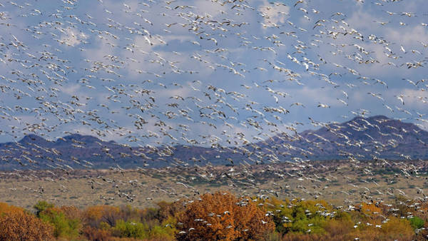 Photograph - Bosque Del Apache by Van Sutherland
