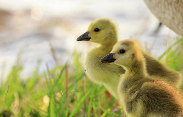Photograph - Boston Goslings by Rob Davies