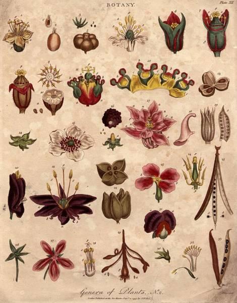 Pea Digital Art - Botany by Hulton Archive