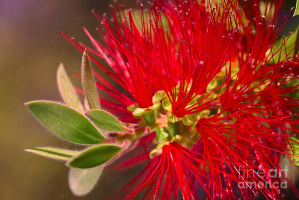 Photograph - Bottlebrush Autumn Warmth by Joy Watson