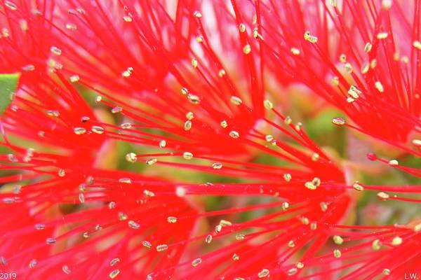 Photograph - Bottlebrush Close Up 2 by Lisa Wooten