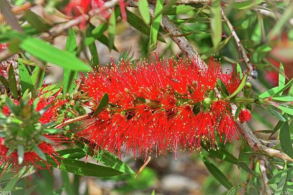 Photograph - Bottlebrush Flower by Lisa Wooten