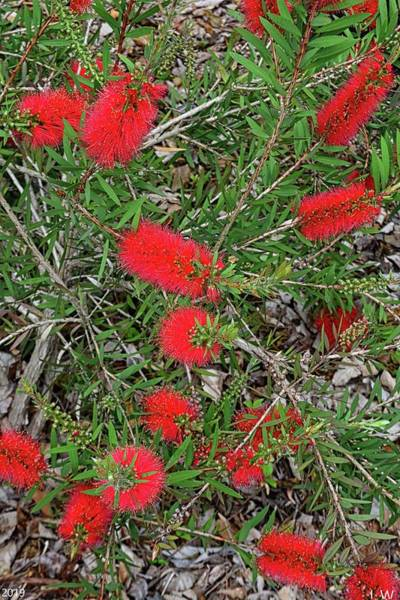 Photograph - Bottlebrush Vertical by Lisa Wooten
