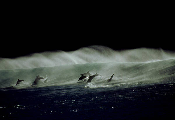 Vertebrate Photograph - Bottlenose Dolphins, Tursiops by Tobias Bernhard